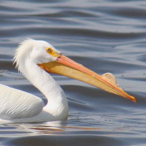 fishing-pelican
