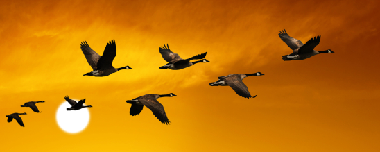 migrating canada geese in silhouette flying at sunset, panoramic frame